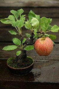Velvet Apple Plant