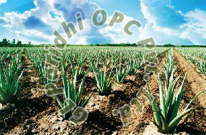 Aloe Vera Contract Farming Services