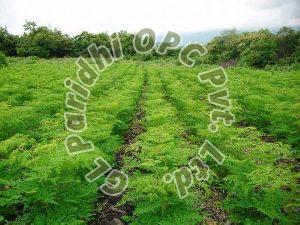Moringa Contract Farming Services