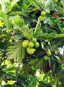 Breadfruit Plant