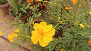 Cosmos Plant
