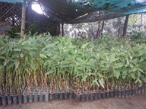 Eucalyptus Clone Plant