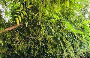 Putranjiva Plant