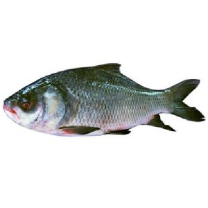 Fresh Catla Fish