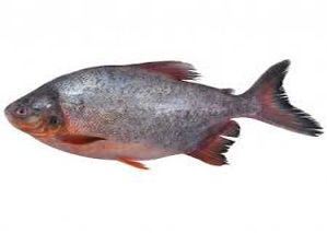 Fresh Water Pomfret Fish
