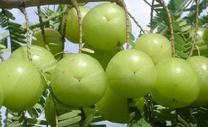 Amla Cultivation