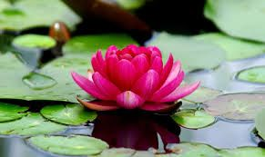 Lotus Floral Water