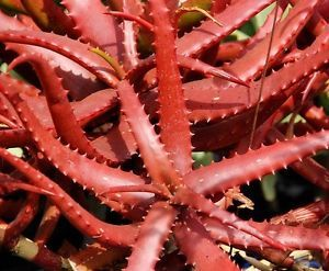 Natural Red Aloe Vera Leaves