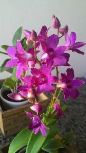 Dendrobium Red Bull Orchid Plant