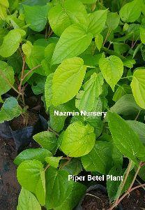 Piper Betel plant