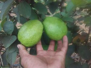 Fresh Thai Guava