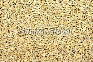 Yellow Barley Seeds
