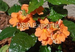 Cassandra Flower