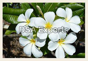 Frangipani White Flower