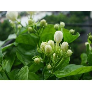 Natural Jasmine Flower