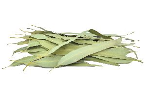 Dried Eucalyptus Leaf