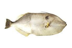 Leatherjacket Fish