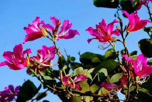 Bauhinia Blakeana Plant
