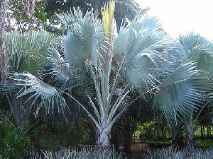 Bismarcka Nobillis Plant