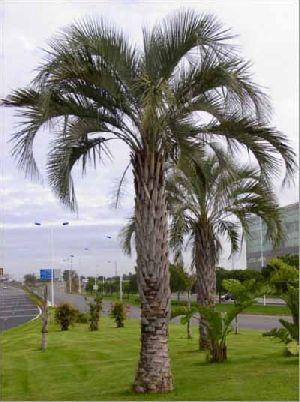 Butia Capitata Plant