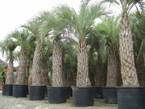 Butia Yatay Plant