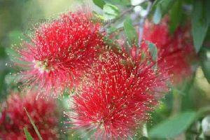 Callistemon Pollandi Plant