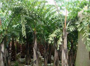 Caryota Urens Plant