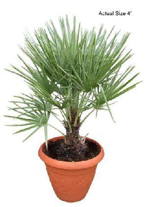 Chamaerops Humilis Plant