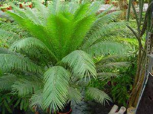Cycad Circinalis Plant