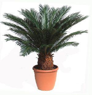 Cycad Revolute Plant