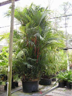 Cyrtostachys Renda Plant