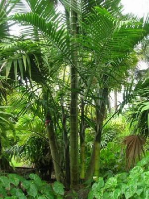Dypsis Cabadae Plant