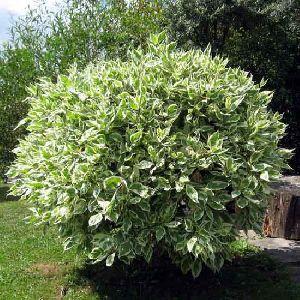 Ficus Benjamina Plant