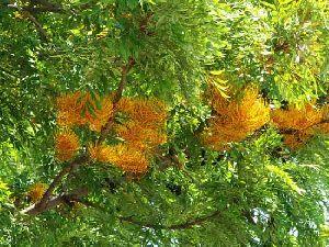 Grevillea Robusta Plant