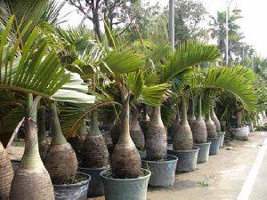 Hyophorbe Lagenicaulis Plant