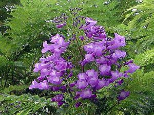 Jacaranda Mimosifolia Plant