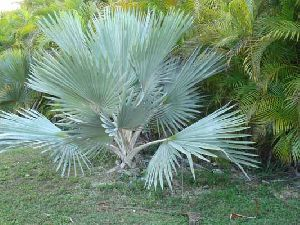 Latania Loddigesli Plant