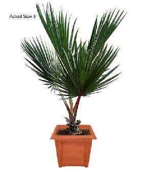 Latania Lontaroides Plant