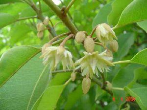 Mimusops Elengii Plant