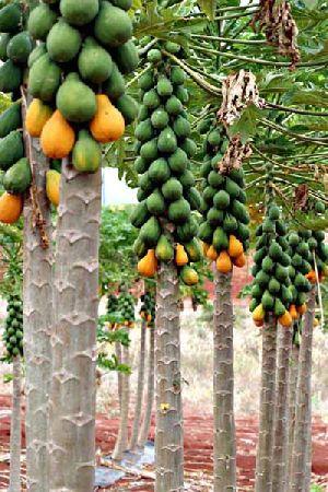 Pappya Plant