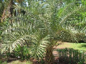 Phoenix Sylvestris Plant