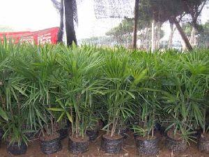 Rhapis Humilis Plant