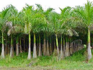 Roystonea Regia Plant
