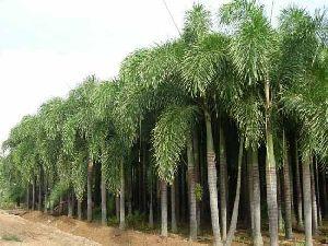 Wodyetia Bifurcate Plant