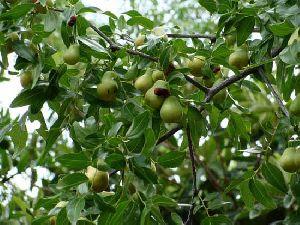 Zizyphus Juluba Plant