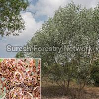 Acacia Holosericea