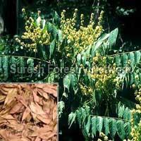 Ailanthus Excelsa