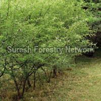 Airel Seeding Species
