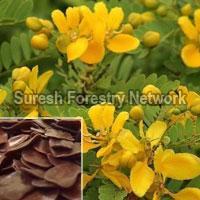 Cassia Auriculata