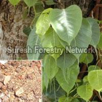 Ficus Recimosa